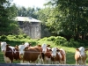 svojse-cows